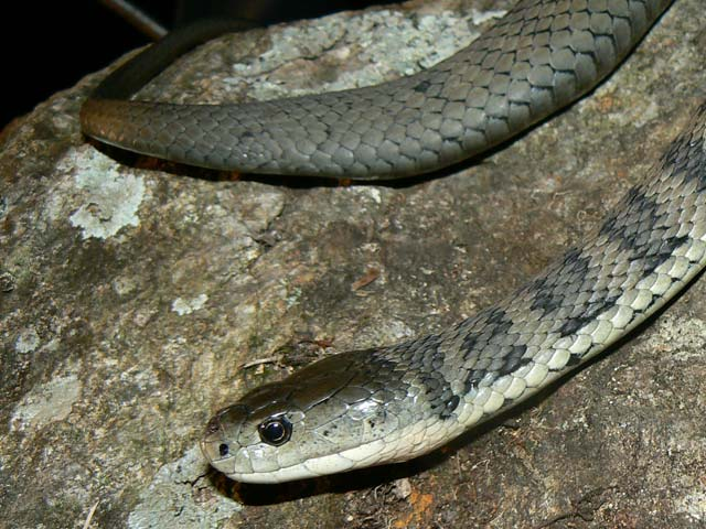Rough Scaled Snake