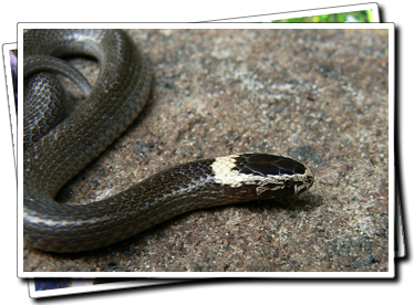 white-crowned snake